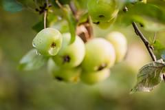 Morning sunlight (WillemijnB) Tags: crabapples sierappels malus outdoor dof depthoffield bokeh apples appels sunlight light morningsunlight dew drops waterdrops dauw