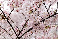 Cherry Blossom XII (Douguerreotype) Tags: tree garden cherryblossom blossom pink flowers cherry city park tokyo japan urban sakura