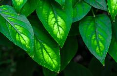 Where the Sun Shines. (Omygodtom) Tags: real green outdoors macro macromonday leaves texture tamron tamron90mm nikon nature natural d7100 digital diamond flickr abstract art