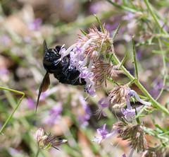 Blue Pollen (intagliodragon) Tags: animal arthropod bee eukaryote flower insect nature plants kittpeak arizona unitedstates usa hymenoptera