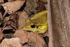 Northern Stoney Creek Tree Frog (Litoria jungguy) (shaneblackfnq) Tags: northern stoney creek tree frog litoria jungguy amphibian shaneblack julatten fnq far north queensland australia tropics tropical