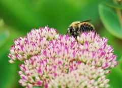 3431 Bee and Ice Plant (Andy panomaniacanonymous) Tags: 20160831 bbb bumblebee fff flowers garden iceplant iii insect pink plants ppp sedumplant sss