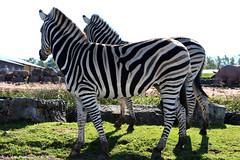 Plains Zebra (Rick & Bart) Tags: mondesauvage plainszebra zebra equusquagga commonzebra steppezebra animal aywaille zoo safari belgique belgie rickvink rickbart canon eos70d thebestofday