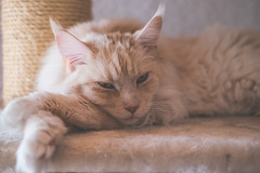 Pet (camerue) Tags: mainecoon animal pet cat indoor dof depthoffield shallow dreamy creamy pastell