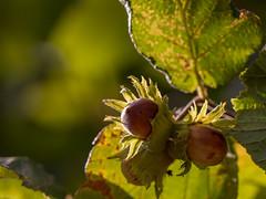 Les fruits de l'automne arrivent (S@ndrine Nel) Tags: noisettes hazelnut nut noisetier hazel fruit autumn automne nelsandrine light lumire