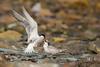 Sterne pierregarin - Sterna hirundo (ÇhґḯṧtÖphε) Tags: 15000 500mm 800iso canon charadriiformes commontern f56 juvenile laridés nourissage sternahirundo sternepierregarin sternepierregarinsternahirundo vardo bird oiseau