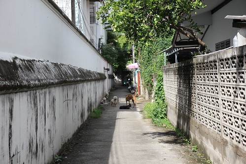 Dogs of Chiang Mai