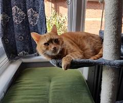 Taz lounging. (julzz2) Tags: sunnycats funnycats cats pussycats mycats gingercats cutecatscats catsfaces felinefaces felines petsfaces pets animals
