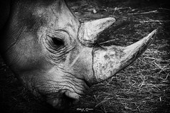 Rhino (graser.robert) Tags: rhino nashorn black schwarz weis white bw classic klasisch tele nikon robertgraser photo artist germany zoopark erfurt zoo thringen horn afrika africa einfarbi tier animal d5000 300mm 2016