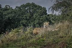 The lioness , Woburn Safari Park (khalid almasoud) Tags: lioness park safari london unitedkingdom england nature wildlife lion sony ilce5100 sonya5100 weather       2016