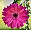 Pink Gerbera Daisy in Digital Splendor (AngelVibeDigital) Tags: digitalgerberadaisy gerberadaisy nikon blossom art paintedflowers photography nikonp900 daisy pink digitalart colorful