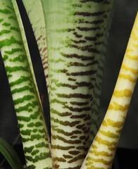 Ledebouria zebrina (xerantheum) Tags: garden berkeley ledebouria zebrina geophytes