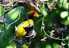 Black Hooded Oriole/ Benebou (Bengali) (anindya55) Tags: wild flower bird beautiful birds yellow highresolution nikon wildlife 300mm bengal oriole westbengal jayanti blackhoodedoriole buxa dooars pakhi benebou tamronaf70300mmf456dildmacro rajabhatkhawa d5100 boukathahao