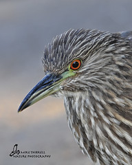 Juvenile Black-crowned Night-Heron (mtetcher) Tags: california bird heron nature animal nikon sandiego sigma nikonsigma avianphotography 120400mm lindolakes