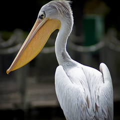 Great White Pelican Square (larryn2009) Tags: california white bird fall animal yellow zoo sandiego unitedstatesofamerica september 2012 pelecanusonocrotalus sandiegocounty greatwhitepelican sandiegosafaripark