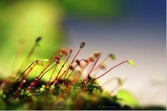 Mosses' world... (CK_Expresso) Tags: plant macro green nature canon eos moss focus flickr dof natural little bokeh vibrant small micro algae mosses ef100mm ckexpresso rememberthatmomentlevel1 rememberthatmomentlevel2