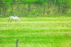 Horse in Paradise! ( SUMAYAH ) Tags: ca camera horse canada green canon landscape photography eos flickr paradise ngc grouse explore alberta pro banff  550d sumayah       flickrsumayah  sumayahessa