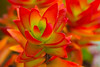 Succulent (Kumaravel) Tags: red closeup nikon dof bokeh kodaikanal kumaravel persephonesgarden d3100