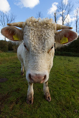 'Wild' Cow (Jos van der Heiden) Tags: netherlands canon cow lagevuursche canonefs1022mmf3545usm canoneos7d