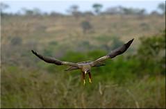 Yellow-billed Kite / Geelsnavelwouw (Patrick Berden) Tags: southafrica 2012 yellowbilledkite milvusaegyptius hluhluweimfolozigamereserve geelsnavelwouw