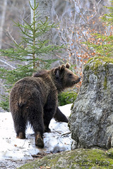 Bear - Orso in ambiente controllato (silvano fabris) Tags: bear nature animals wildlife orso faunaselvatica