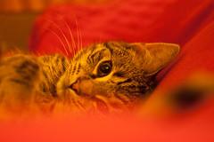 Jack in Bed 1 (2012-11-16) (baumbaTz) Tags: november red rot cat canon germany deutschland eos rebel bed bett kiss looking m42 katze 58mm manualfocus kater stade 44 2012 tomcat helios 442 x3 niedersachsen lowersaxony 500d kutenholz rebelt1i kissx3 t1i 20121116