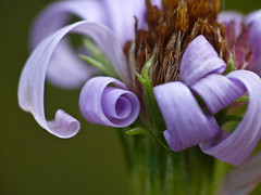 The perfect coil (annkelliott) Tags: flowers canada flower macro nature closeup lumix flora petal alberta pointandshoot curl coil wildflower asteraceae aster coiled beautyinnature annkelliott anneelliott swofcalgary brownloweryprovincialpark fz35 dmcfz35 panasonicdmcfz35 p1190211fz35