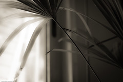 Stalk - Some Shading Series # 7 (www.leonardocarneirofotografia.com) Tags: brazil blackandwhite bw house art brasil canon season casa arte 7d pretoebranco domestico eos7d canon7d riograndesdosul leocarida