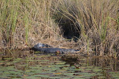 Protecting the hiding place (vacationer1901) Tags: florida alligator greatblueheron whiteibis greategret snowyegret tricoloredheron anhinga shorebirds stmarksnationalwildliferefuge commonmoorhen redheadduck queenbutterfly