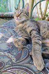 Key West (Florida) November 2012 1740b 4x6 (edgarandron - Busy!) Tags: cats cute cat feline tabby kitty coco kitties tabbies
