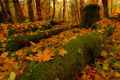 Fallen (Dan Mihai) Tags: autumn trees red orange green fall nature beautiful leaves yellow forest landscape landscapes washington leaf moss fallcolors rusty wideangle autumncolors nationalforest fallen stump pacificnorthwest trunks washingtonstate mountsthelens cougar hdr lewisriver skamania gifford pinchot photomatix mountsthelensnationalvolcanicmonument giffordpinchotnationalforest skamaniacounty lewisrivervalley