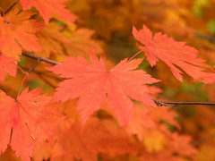 autumn maple leaves soft macro (Maxim Tupikov) Tags: park wood old travel november blue autumn trees red sky orange mountain plant color macro tree travelling green fall leave texture tourism nature leaves yellow closeup rural forest season wonder freedom countryside maple saturated october colorful soft paradise alone branch natural background space rustic seasonal deep environmental peak sunny september foliage single serenity saturation clipart vegetation lone environment leafs pure isolated protected saturate