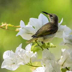 the nectar hunters (Fat Burns) Tags: bird bougainvillea australianwildlife australianbird brownhoneyeater queenslandbird queenslandwildlife rememberthatmomentlevel4 rememberthatmomentlevel1 rememberthatmomentlevel2 rememberthatmomentlevel3 rememberthatmomentlevel5 vigilantphotographersunite vpu2 vpu3 vpu4