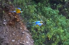 Blue and Gold Macaws_BZEE9570 (Barry Zee) Tags: peru river exotic macaws puno tambopata puertomaldonado birdsofperu neotropical carabaya peruvianamazon blueandyellowmacaws macawclaylick rainforestexpeditions canon800mm birdofperu canonef800mmf56l canoneos1dx canon1dx trctambopataresearchcenter