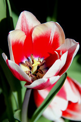 Red and white tulip. (Alexandra Rudge.Getting ready new laptop!) Tags: california flowers plants naturaleza plant flores flower planta nature canon flora plantas tulips angeles flor southern tulip plantae gettyimages tulipa liliaceae tulipan tulipanes liliales flowersl californiaflowers a redandwhitetulip alexandrarudge alexandrarudgegettyimages tulipanblancoyrojo flowerslos alexandrarudgeflowers alexandrarudgeimages alexandrarudgephotography