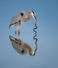 Great Blue with Snake (MyKeyC) Tags: bird nature birds greatblueheron greatblue greatblueherons brownwatersnake greencay avianexcellence heroneatingsnake naturesbest2014 aacolnaturesbest aaacolbirds