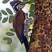 Hathikhira Birds-482 - Chrysocolaptes lucidus