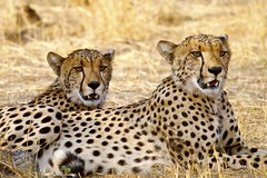 Brothers (paulafrenchp) Tags: africa safari zimbabwe hwange flickrbigcats wildfelinephotography littlemakalololodge