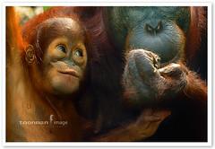 Singapore Zoo - Orang Utan (TOONMAN_blchin) Tags: singapore orangutan singaporezoo toonman mygearandme mygearandmepremium mygearandmebronze mygearandmesilver mygearandmegold