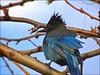 Stellars Jay (pjmaudsley) Tags: freedomtosoarlevel1birdphotosonly freedomtosoarlevel2birdphotosonly freedomtosoarlevel2birdsonly