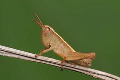 Grasshopper (Rundstedt B. Rovillos) Tags: macro insect australia brisbane queensland grasshopper reverselens macrophotography insecta joyner nikkor1855mm sooc insekto straightoutofcamera reverselensadapter kulisap diyflashdiffuser nikond300 rundstedtbrovillos kentuckyfriedchickenplasticbucketlid diykfcflashdiffuser onehandmacroshootmethod kfcdiffuser kfcflashdiffuser