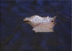 The Leaf, A Tribute... (Aquamarine Images) Tags: autumn fall leaves lakes mapleleaf canonphotos thegalaxy waterleaves aquamarineimages leavescloseups artisticphotosfall autumnartisticphotos