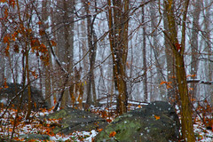 Don't Walk Away, Deer (SunnyDazzled) Tags: christmas trees winter red snow newyork nature leaves forest landscape snowflakes woods snowy stones upstate deer falling