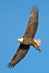 American Bald Eagle (Brian E Kushner) Tags: fish bird birds animals flying inflight wings fishing md king eagle dam wildlife flight baldeagle beak bald maryland talon darlington f4 haliaeetusleucocephalus d800 birdwatcher americanbaldeagle conowingo 600mm nikor conowingodam afsnikkor600mmf4gedvr nikond800 bkushner brianekushner nikon600mmf4afsvr