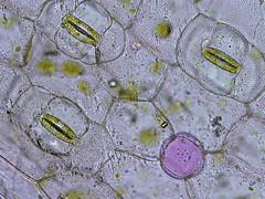 Epidermis Peel (BlueRidgeKitties) Tags: plant leaf botany microscope purpleheart microscopy nucleus tradescantia epidermis monocot stomata focusstack purplequeen tradescantiapallida setcreasea setcreaseapurpurea setcreaseapallida anthocyanins stoma chloroplast vacuole wetmount epidermalpeel guardcell combinezm olympusix81 epidermispeel