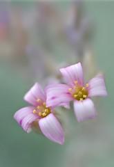 画情 (Painted Love) (Anna Kwa) Tags: flowers macro art marina singapore kalanchoe cactusgarden succulentplant gardenbythebay flowersdome pumilasilvergray