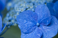 Hydrangea 紫陽花 (VesperTokyo) Tags: flower june japan drops 東京 hydrangea 花 アジサイ 水滴 紫陽花 雨 あじさい 六月 白山神社 文京区 ガクアジサイ nikond3
