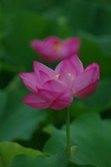 Lotus flowers (usotuki) Tags:       yokohamasankeiengarden eventtowatchthelotusintheearlymorning flower pink smcpentaxda60250mmf4edifsdm pentaxk7