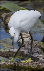 Snowy Egret ( The Look ) (billkominsky ) Tags: naturethroughthelens ngc
