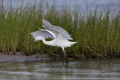 """""""Reddish Egret """"White Morph"""" (deansmithphotography) Tags: birds shorebirds egrets reddishegrets whitmorphed coastal water nature wildlife rockport texas"""
